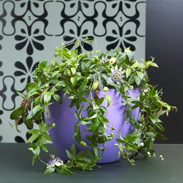 Blå passionsblomma, _Passiflora caerulea_.