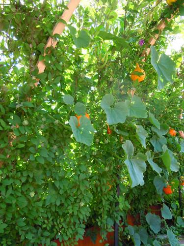 Orange squash klättrar högt och brett. Foto: Sylvia Svensson