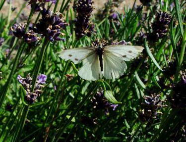 Lavendel lockar med sin ljuvliga doft och täta blomning.