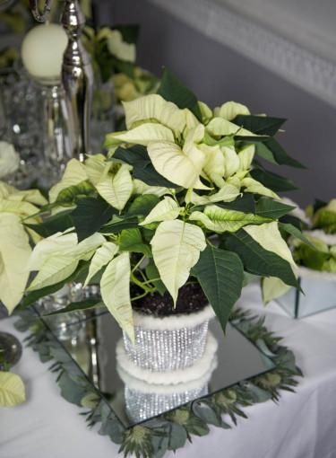 Vit julstjärna Foto: Blomsterfrämjandet
