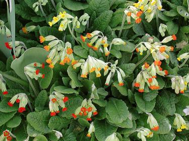 Frösådda gullvivor, _Primula veris_, i olika färger. Foto: Sylvia Svensson