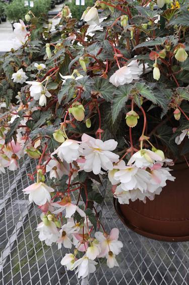 Begonia Fragrant White'.Foto: Sylvia Svensson