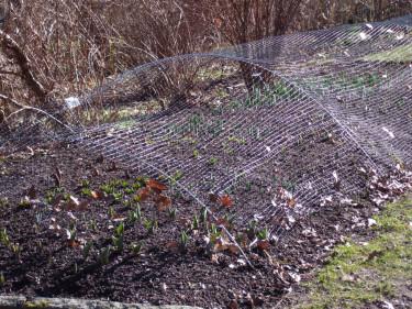 Svart skyddsnättunnel skyddar tulpanerna. Foto: Sylvia Svensson