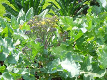 Broccoli och svartkål.  Foto: Sylvia Svensson