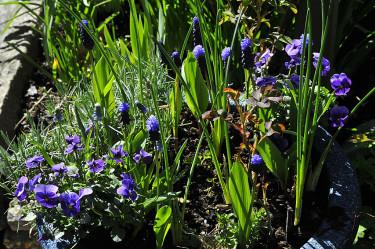 Om du planterade lökar i kruka redan på hösten kan de kompletteras med penseer nu. Minipenséer och Muscari latifolium. Foto och arr: Sylvia Svensson