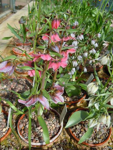 _Fritillaria gibbosa_ mfl. Foto: Sylvia Svensson