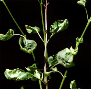 Syren som skadats av ogräsmedel. Foto: Tomas Lagerström.