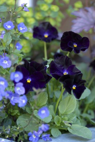 Penséer gör sig väldigt bra i samplantering. Foto: Blomsterfrämjandet