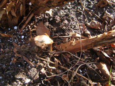 Vid underhållsbeskärning klipps grenar som ska bort av ända nere vid marken.