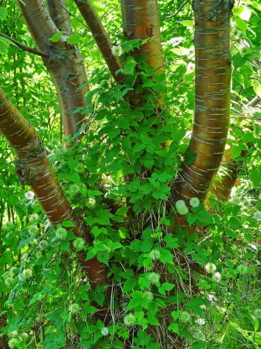 Näverhägg,  _Prunus maacki_, med atragene-klematis som klättrar på stammen.