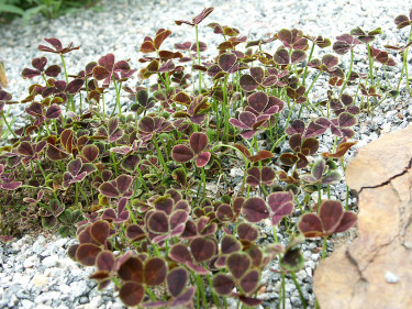 _Trifolium repens_ 'Purpurascens' i en stenröse. Foto: Bernt Svensson