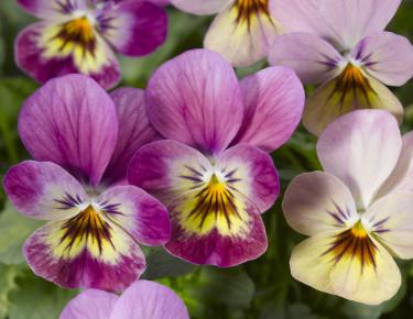 Hornviol, _Viola cornuta_, 'Endurio Pink Shades'.  Foto: Blomsterfrämjandet/Syngenta