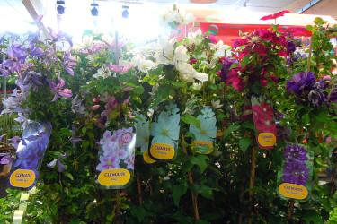 R&G Export: vackra klematissorter. Foto: Sylvia Svensson