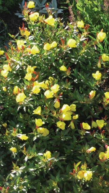 Gullnattljus, _Oenothera fruticosa_, blommar magnifikt från högsommar till höst.
