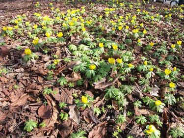 I mars blommar vintergäcken på varma ställen. Foto: Sylvia Svensson