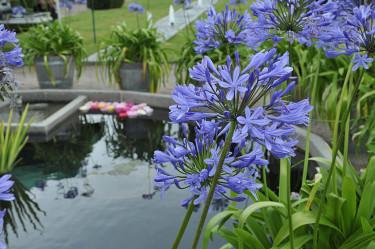 Agapanthus i ekfat runt dammen.Foto: Sylvia Svensson