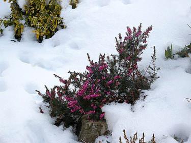 Vårljung i snön. Foto: Sylvia Svensson