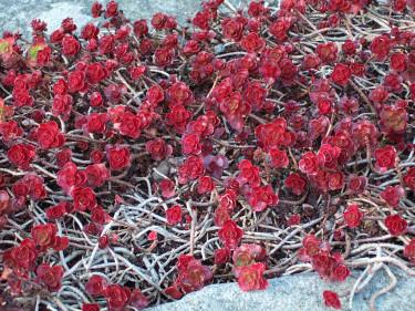 Kaukasiskt fetblad, _Phedimus spurius_ 'Fuldaglut,' i vinterfärg. Foto: Sylvia Svensson