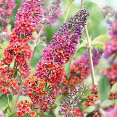 Buddleja 'Flower Power'. Buddleja kallas även fjärilsbuske. Foto: BoGrönt