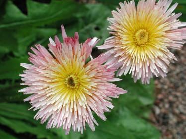 _Taraxacum pseudoroseum_, rosa maskros. Foto: Sylvia Svensson