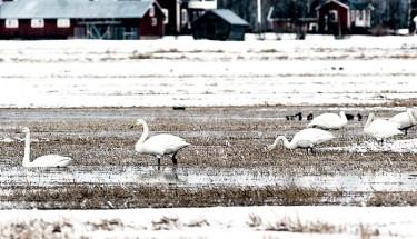 Nu har de börjat samla sig i norr- svanarna, vita förebud om vår och en skön sommar.