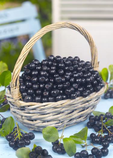 Aroniabär är otroligt nyttiga och växer på vackra, lättskötta buskar.