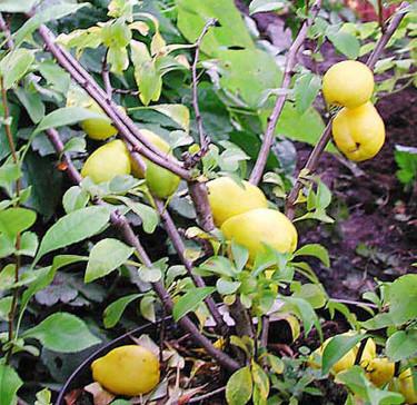 Rosenkvittensort med päronformade frukter. Foto: Sylvia Svensson