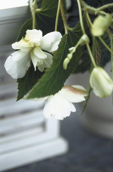 Krispigt vit hängbegonia i närbild.  Foto: Blomsterfrämjandet