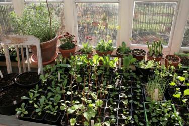 Förkultivering i växthuset.