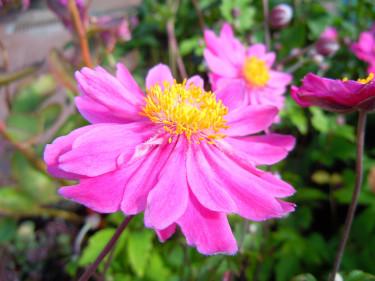 Anemone hybrida 'Pamina'. Foto: Sylvia Svensson