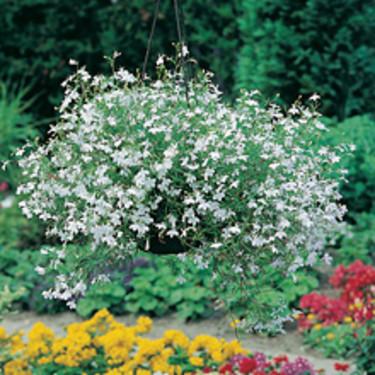 Lobelia, _Lobelia erinus_, 'White Fountain'. Foto: Mr Fothergill's