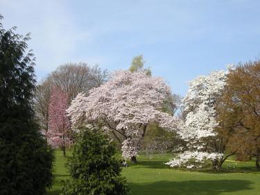 Magnolior och körsbär beskärs på sommaren. Foto: Sylvia Svensson