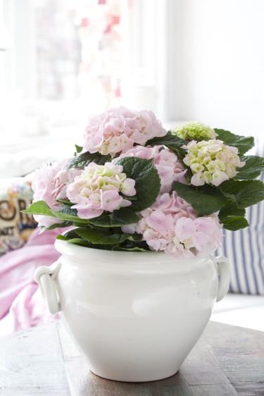 Ljusrosa hortensia Foto: Blomsterfrämjandet
