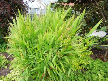 _Chasmanthium latifolium_, droppax. Foto: Sylvia Svensson