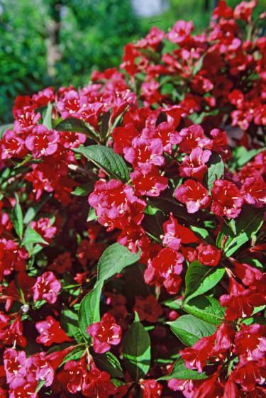 'Bristol Ruby' är en av de klassiska, normalstora, rent grönbladiga sorterna av prakttry, Foto: PPH