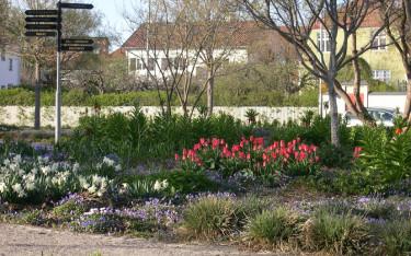 En samplantering med vårblommande lökväxter och perenner: Kejsarkrona, vita påskliljor, balkansippa och anemontulpan. Foto: Marie Lindell