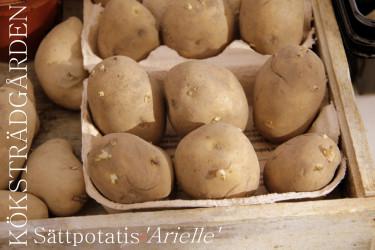 Sättpotatis Arielle