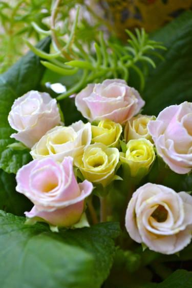 Primula 'Bellerose' Foto: Blomsterfrämjandet