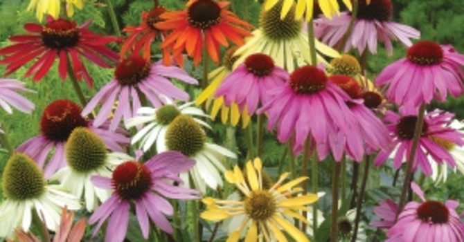 _Echinacea_ 'Paradisio Mix', **blandade solhattar**. Foto: PoD