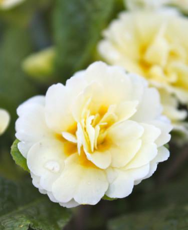 Dubbel jordviva Foto: Blomsterfrämjandet