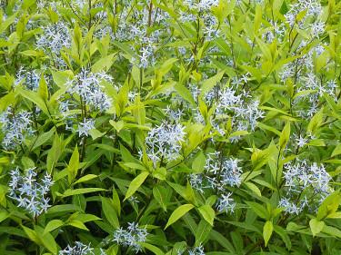 Amsonia, _Amsonia_, 'Blue Ice' får små, söta, stjärnformade blommor. Foto: Sylvia Svensson