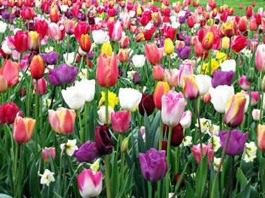 Att blanda tulpaner med till exempel narcisser ger ett bedårande resultat! Foto: [Odla.nuShop](http://erbjudande.odla.nu/hl/?p=1)