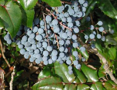 **Mahonia**, _Mahonia aquifolium_. Foto: Bernt Svensson