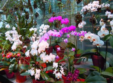 Olika brudorkidéer, _Phalaenopsis_. En lättodlad favorit att ha hemma. Foto: Sylvia Svensson