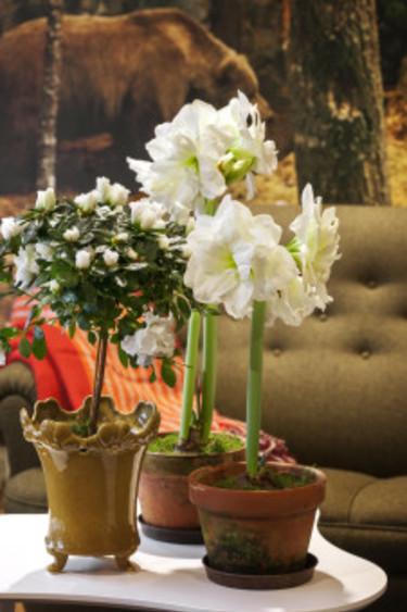 Azalea på stam och vita amaryllis tillsammans. Foto: Blomsterfrämjandet/Anna Skoog