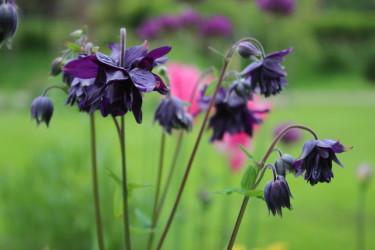 """Akleja """"Black Barlow"""" / Foto: Anna Theorin"""