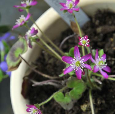 _Hepatica japonica_ 'Purple Forest-hybrid'. Foto: Bernt Svensson