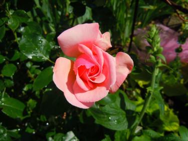 _Rosa_, 'Drottningholm'