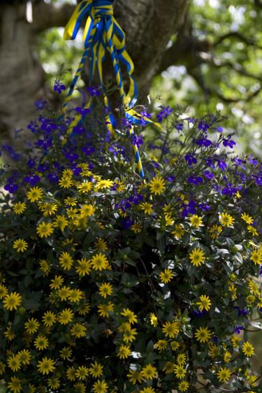 Juniampel. Foto: Blomsterfrämjandet.