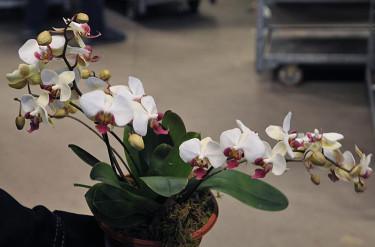_Phalaenopsis_ mini flergrenad